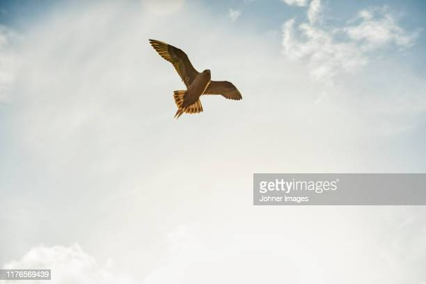 bird of prey flying - zeevogel stockfoto's en -beelden