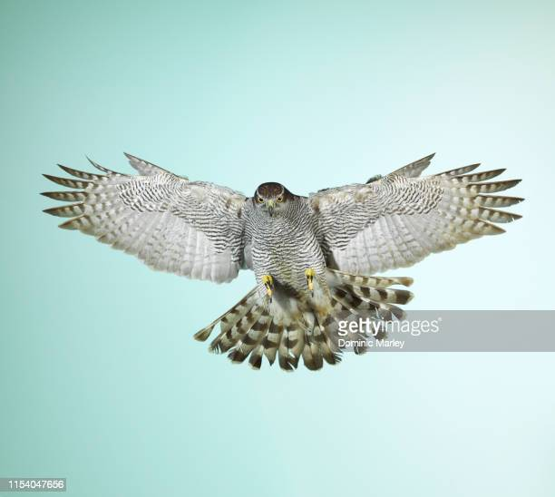 bird of prey goshawk - goshawk stock photos and pictures
