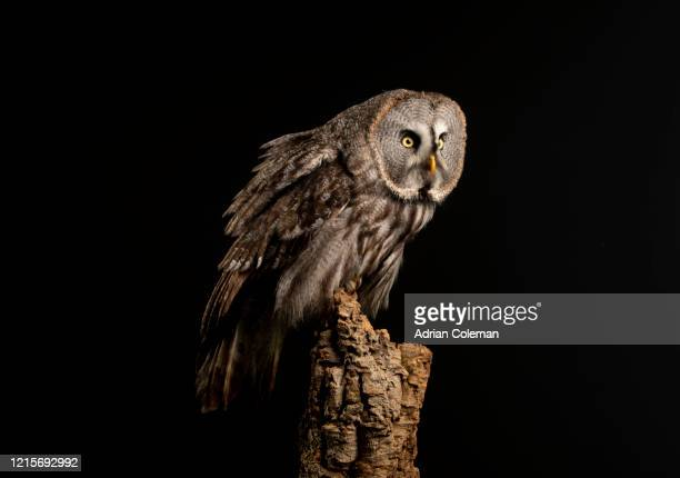 bird of prey  great grey owl    strix nebulosa - animal limb stock pictures, royalty-free photos & images