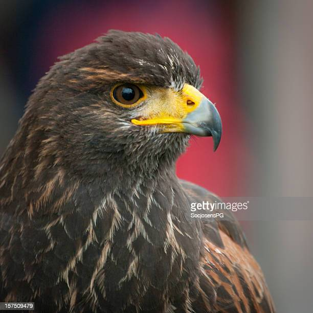 bird of prey - hawk - harris hawk stock photos and pictures