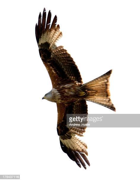 Bird of Prey Isolated