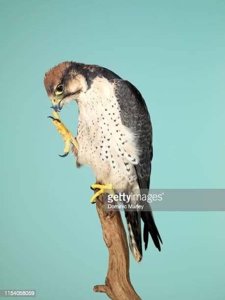 bird of prey peregrine falcon - peregrine falcon stock pictures, royalty-free photos & images