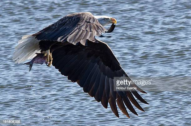 bird of prey - rolour garcia stock pictures, royalty-free photos & images