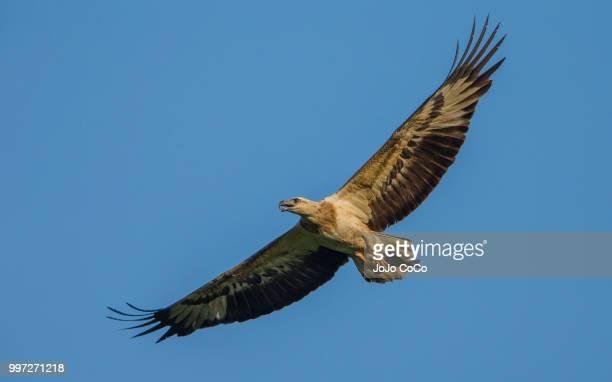 bird of prey - jo wilder stock-fotos und bilder