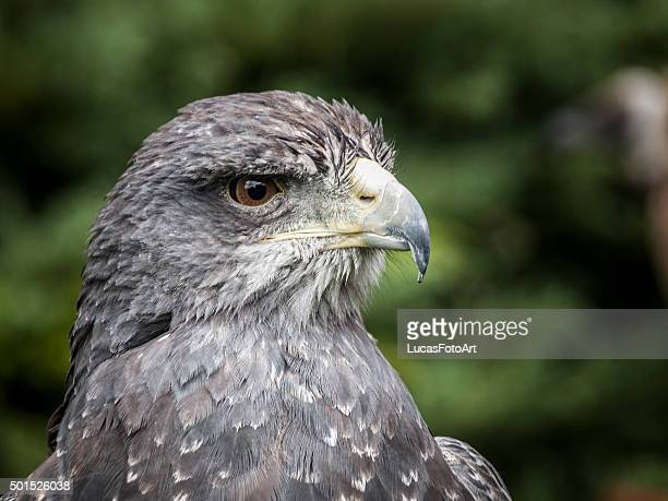 bird of prey shielded eagle - goshawk stock photos and pictures
