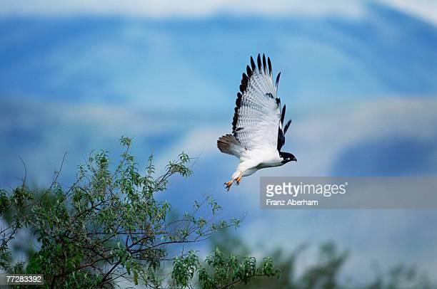 bird of prey taking flight from tree - black chested snake eagle stock pictures, royalty-free photos & images