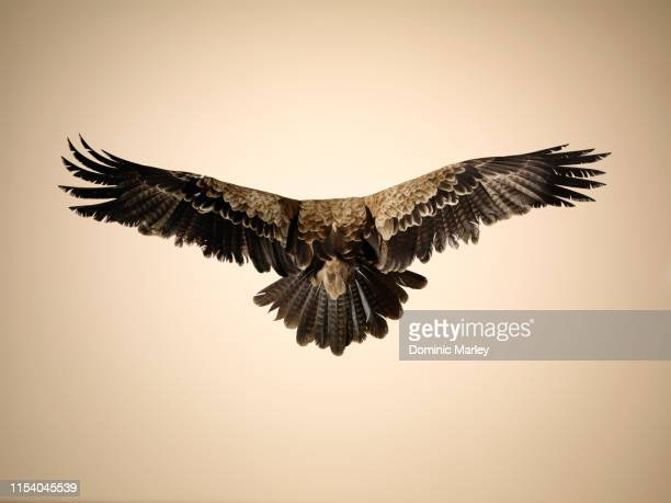 bird of prey tawny eagle - eagle stock pictures, royalty-free photos & images