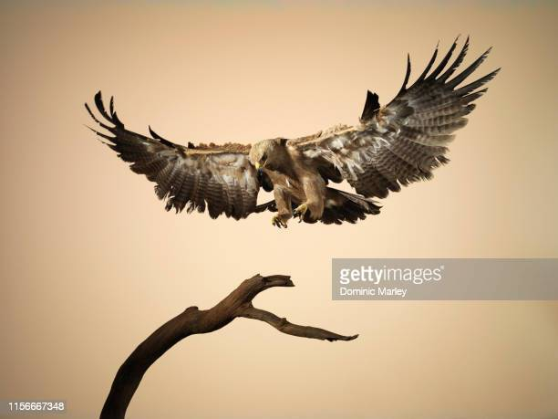 bird of prey tawny eagle - animal wing stock pictures, royalty-free photos & images