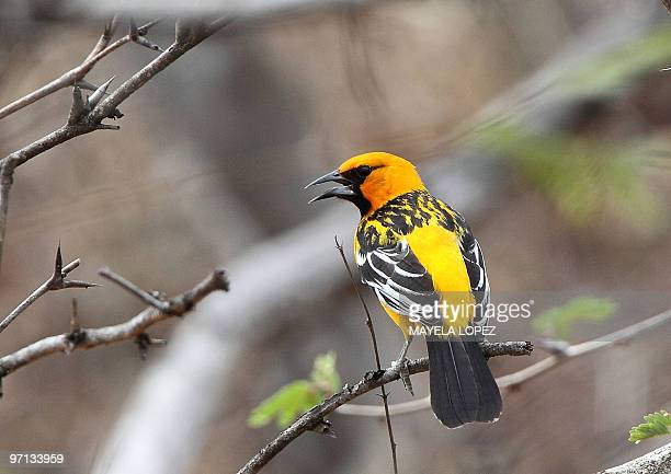Bird of the Icterus family sings on a tree near the wetland February 21, 2010 in the Palo Verde National Park, on the Guanacaste province, 240 north...