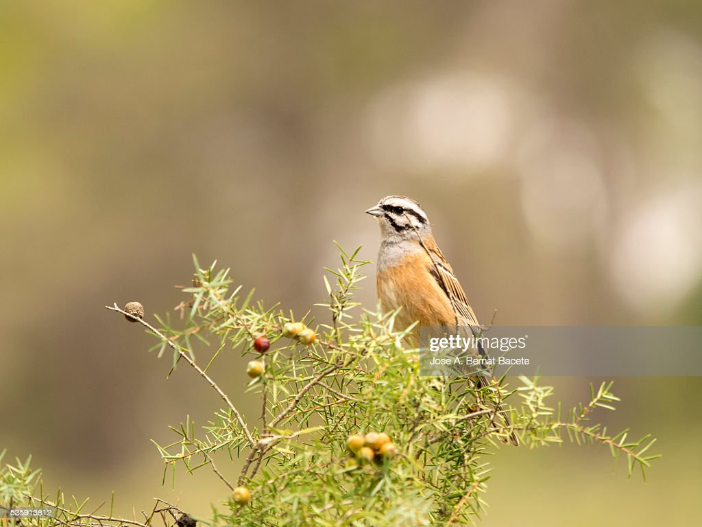 Bird of the species 'escribano montesino' (Emberiza cia), Put on the branches of a shrub : Stock Photo