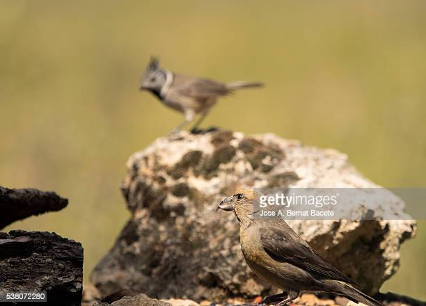 bird of the species herrerillo capuchino, blue tit capuchin,    (lophophanes cristatus) put on a stone. - petechiae stock pictures, royalty-free photos & images
