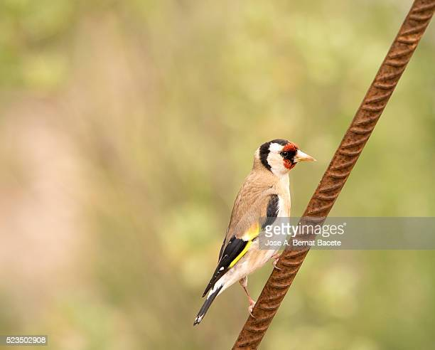 bird of the species (carduelis carduelis ), immobile on a metallic stick - petechiae stock pictures, royalty-free photos & images