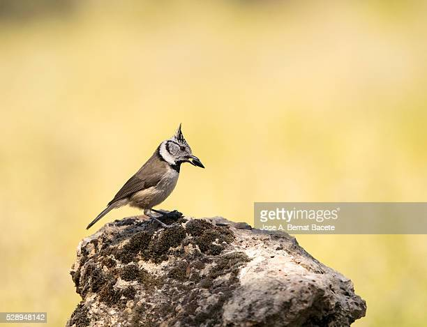 bird of the species (lophophanes cristatus ),of the family paridae, put on a rock with i show restraint in the beak - petechiae stock pictures, royalty-free photos & images