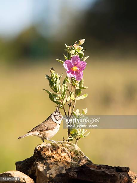 bird of the species (lophophanes cristatus ),of the family paridae,  put on a stone close to a branch with flowers - petechiae stock pictures, royalty-free photos & images