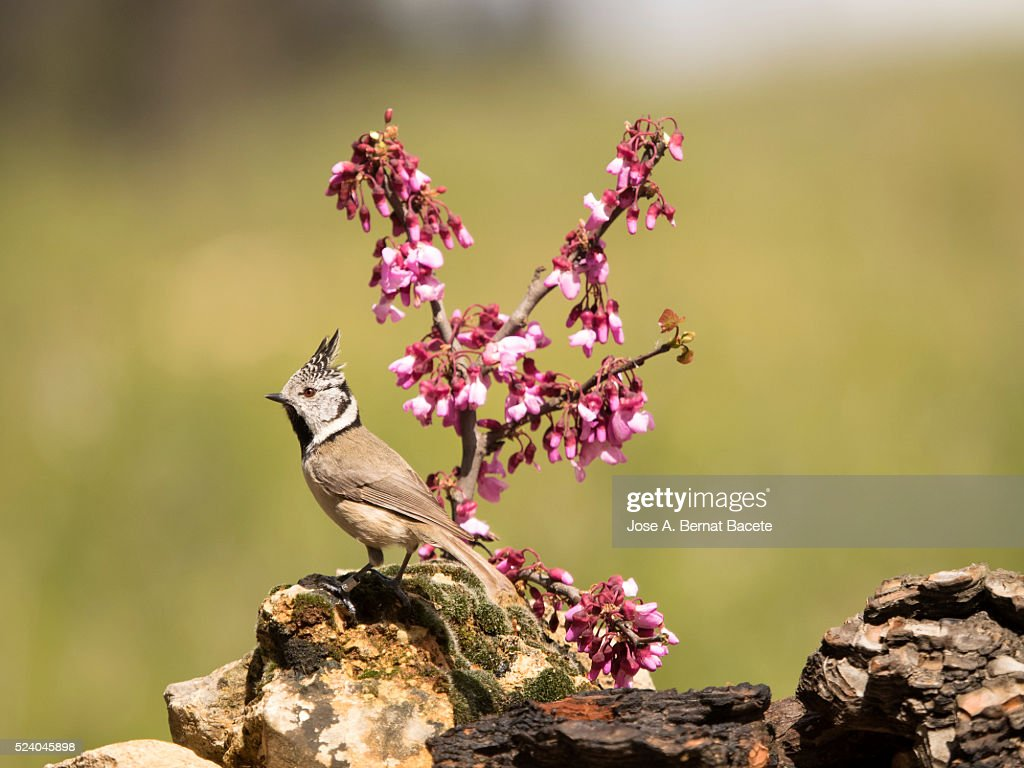 Bird Of The Species Put On A Stone Close To A Branch With Flowers High Res Stock Photo Getty Images