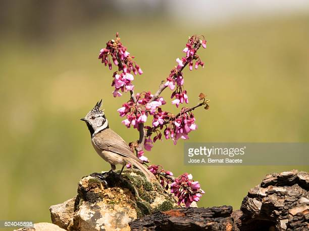bird of the species (lophophanes cristatus ), put on a stone close to a branch with flowers - petechiae stock pictures, royalty-free photos & images