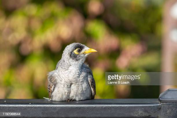bird on a fence - lianne loach stock pictures, royalty-free photos & images