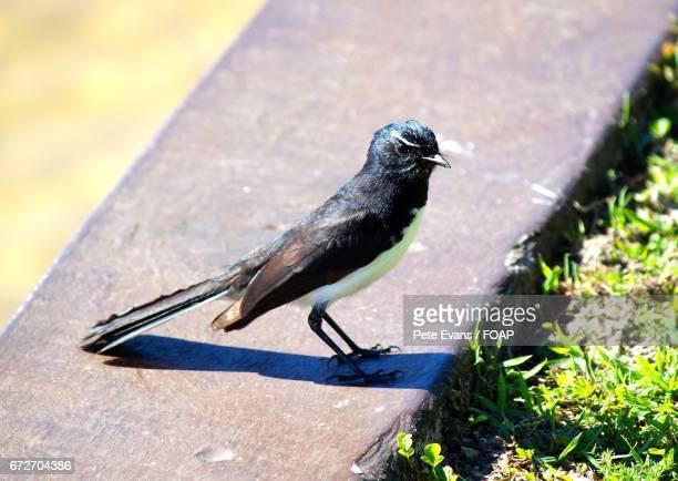 bird on retaining wall - セキレイ ストックフォトと画像