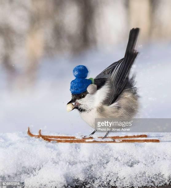 Bird on skies