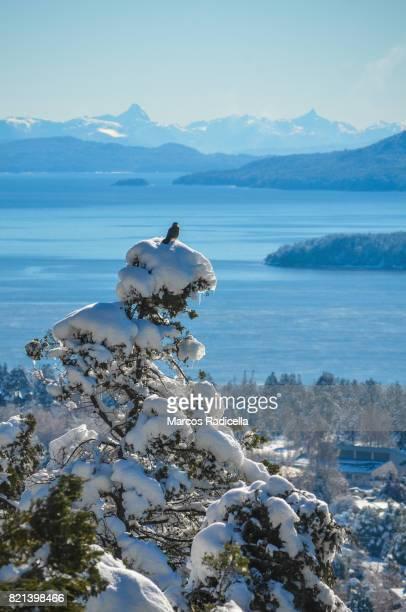 bird on top of snowy tree, bariloche, patagonia - radicella stockfoto's en -beelden