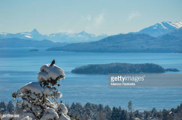 bird on top of snowy tree, bariloche, patagonia - radicella stock pictures, royalty-free photos & images