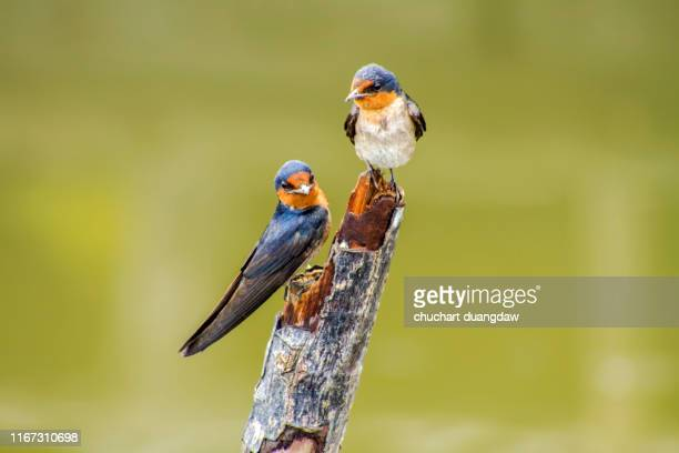 bird, pacific swallow (hirundo tahitica) on branch - barn swallow stock pictures, royalty-free photos & images