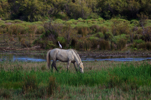 Bird perched on the back of a white horse grazing freely in the field. Concept of animals in freedom. 1214909787