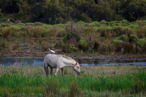 Bird perched on the back of a white horse grazing freely in the field. Concept of animals in freedom. 1214910685