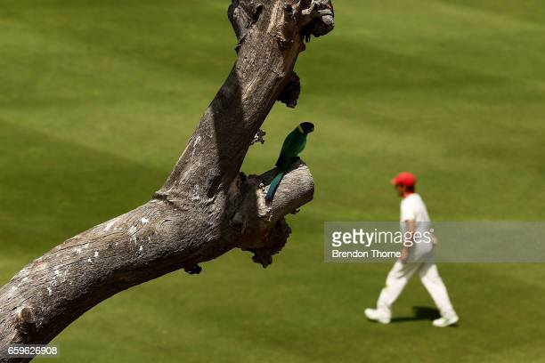 A bird perched on tree is seen as Adam Zampa of the Redbacks fields during the Sheffield Shield final between Victoria and South Australia on March...