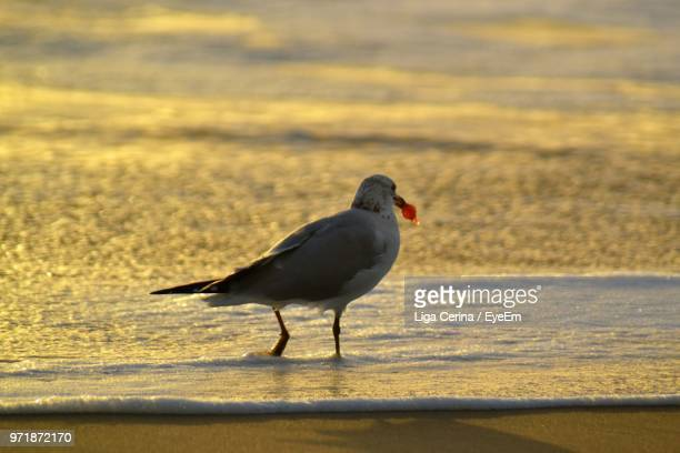 bird perching in sea during sunset - liga cerina stock pictures, royalty-free photos & images