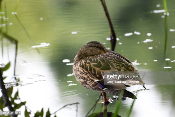 bird perching on a lake - greg nadeau stock pictures, royalty-free photos & images