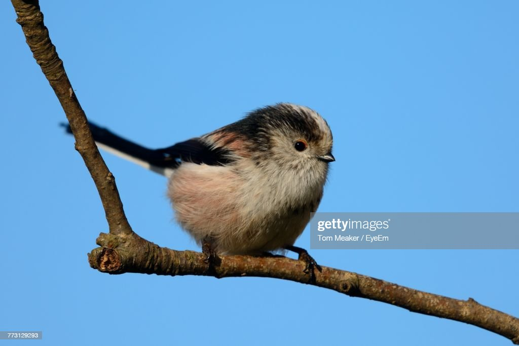 Bird Perching On Branch Against Clear Blue Sky : Photo