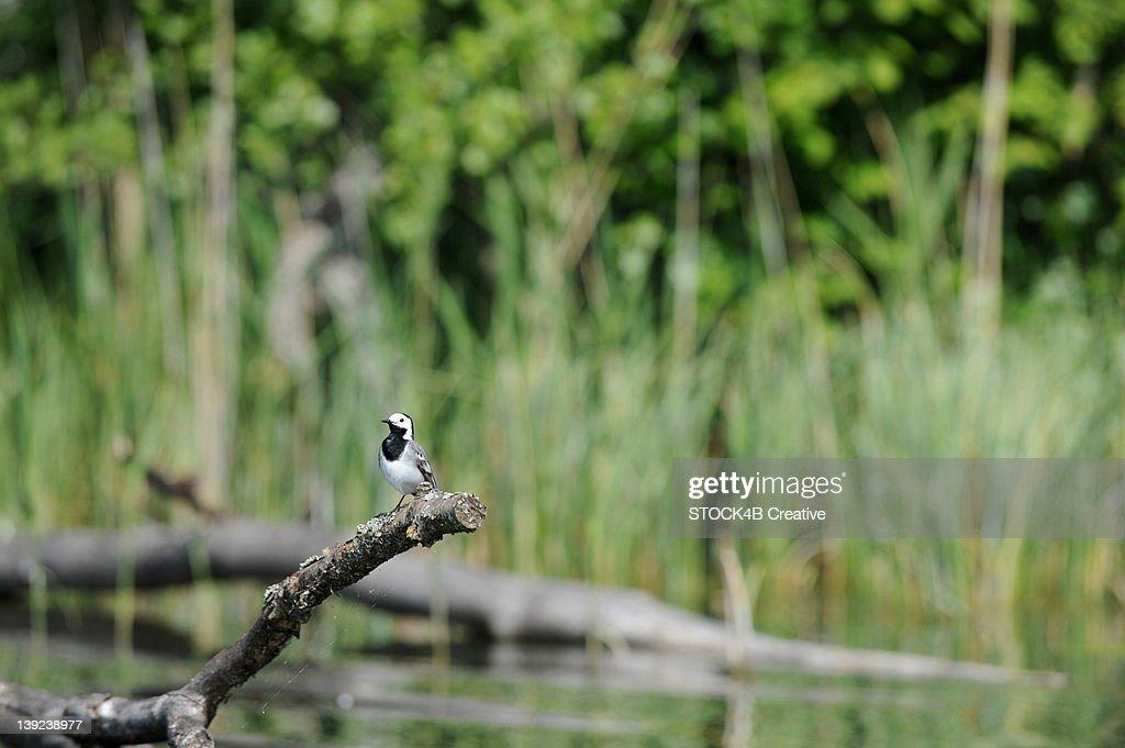 Bird perching on branch at River Krutynia, Masuria, Poland : Stock Photo