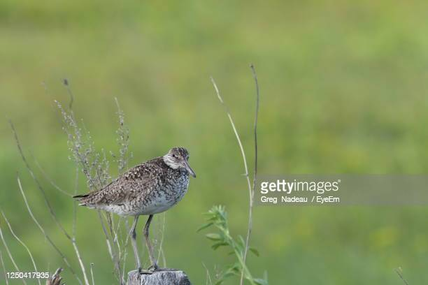 bird perching on grass - greg nadeau stock pictures, royalty-free photos & images