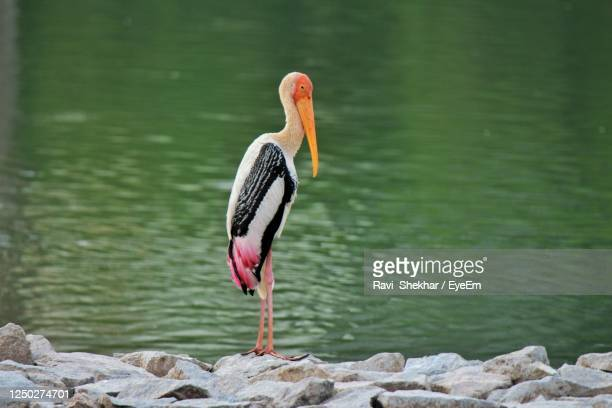 bird perching on rock by lake - beak stock pictures, royalty-free photos & images