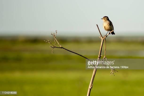 bird perching on stem - arthur foto e immagini stock