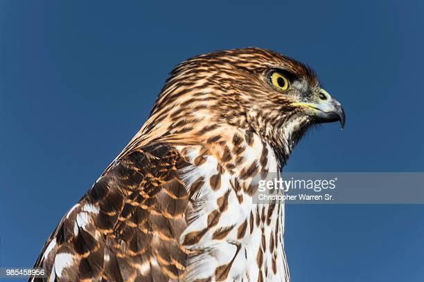 bird - goshawk stock photos and pictures