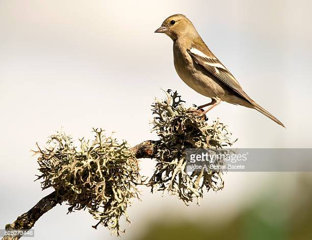 Bird 'pinz��n vulgar ', (Fringilla coelebs ),species Passeriformes , put on a branch with lichens.