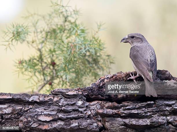 bird piquituerto common, female, (loxia curvirostra), of the family of the fring��lidos. - petechiae stock pictures, royalty-free photos & images
