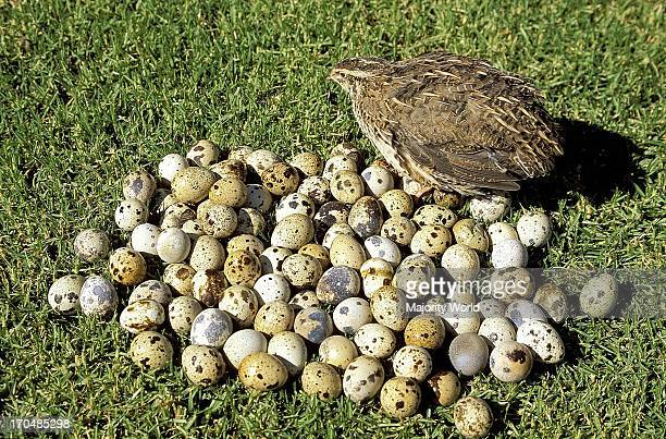 Bird Quail with a pile of quail eggs