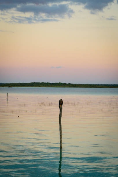 "Bird resting on a wood stick at Cocalitos ""El Santuario de los Estromatolitos"" in the Bacalar lake during the sunset"