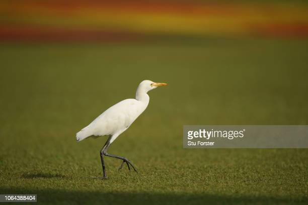 Bird roams the outfield during Day One of the Third Test match between Sri Lanka and England at Sinhalese Sports Club on November 23, 2018 in...