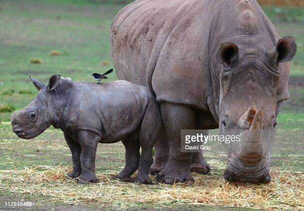 Bird sits atop a White Rhino calf as it stands next to its Mother in an enclosure at Taronga Western Plains Zoo on September 17, 2019 in Dubbo,...