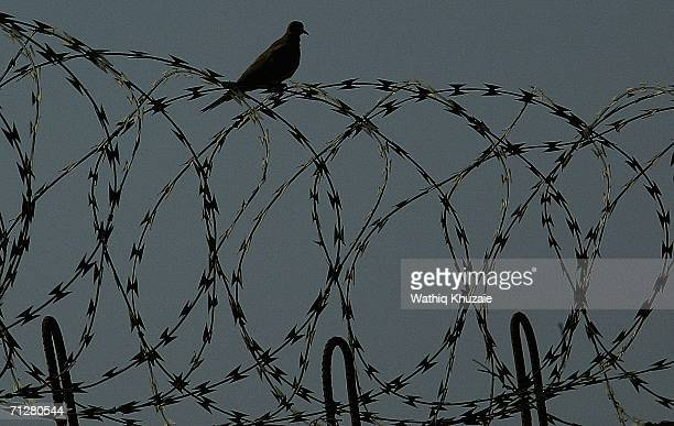 A bird sits on a barbered wire fence on June 23 2006 at Abu Ghraib prison west of Baghdad Iraq More than 500 Iraqi detainees were released from Abu...