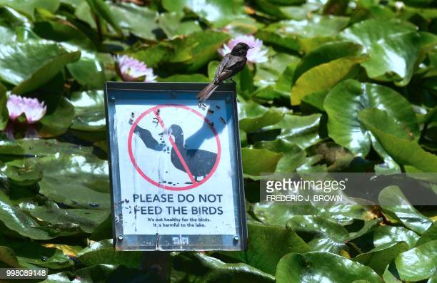 A bird sits on a sign advising people not to feed birds as Lotus flowers bloom at Echo Park Lake in Los Angeles California on July 13 a day before...