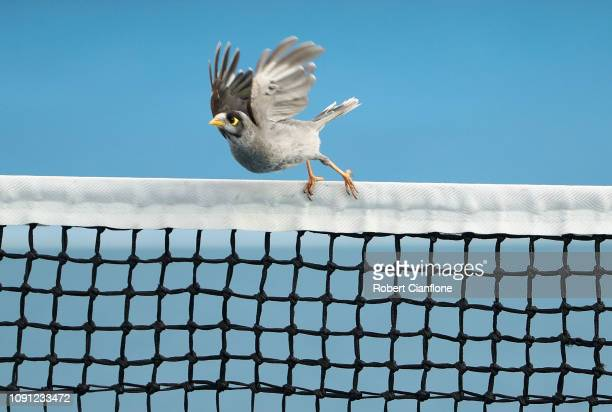 A bird sits on the net during the singles match between Sofia Kenin of the USA and Caroline Garcia of France during day four of the 2019 Hobart...
