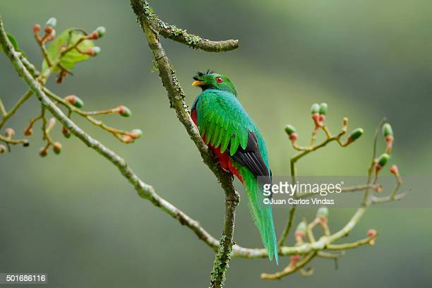 Bird sitting on aguacatillo branch, Ecuador