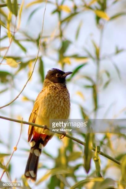 bird (nightingale) sitting on tree - nightingale stock pictures, royalty-free photos & images