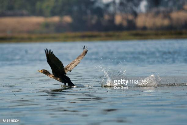 bird skims water - don smith stock pictures, royalty-free photos & images