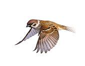Bird sparrow on white background.